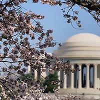 Cherry Blomms bloom in Washington, DC, April 2009, surrounding the Tidal Basin