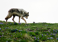 An Arctic Gray Wolf cautiously surveys an intruder as it wanders for food in the  Arctic National Wildlife Refuge, Alaska