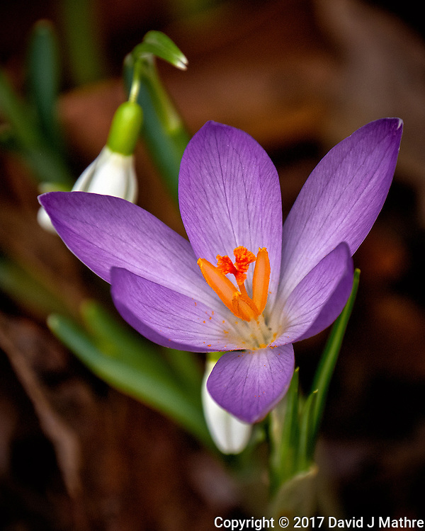 First Hint of Spring -- Early crocus flowers across the street. Winter nature in New Jersey. Image taken with a Fuji X-T2 camera and 100-400 mm OIS lens (ISO 200, 400 mm, f/5.6, 1/500 sec)