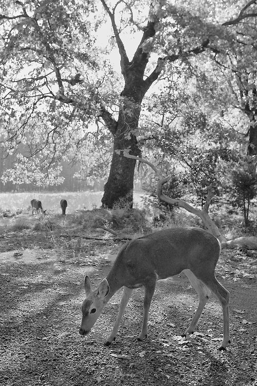 Grazing Deer Meadow Edge Close View - Yosemite Valley - Black & White