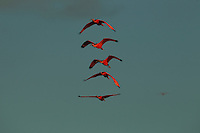 A group of Scarlet Ibises (Eudocimus ruber) flying though the sky, Delta Amacuro, Venezuela.
