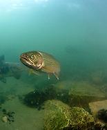 Coastal Cutthroat Trout<br /> <br /> Paul Vecsei/Engbretson Underwater Photography