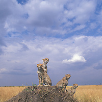 Africa, Kenya, Masai Mara Game Reserve, Adult Female Cheetah (Acinonyx jubatas) sitting with cubs looking out on savanna