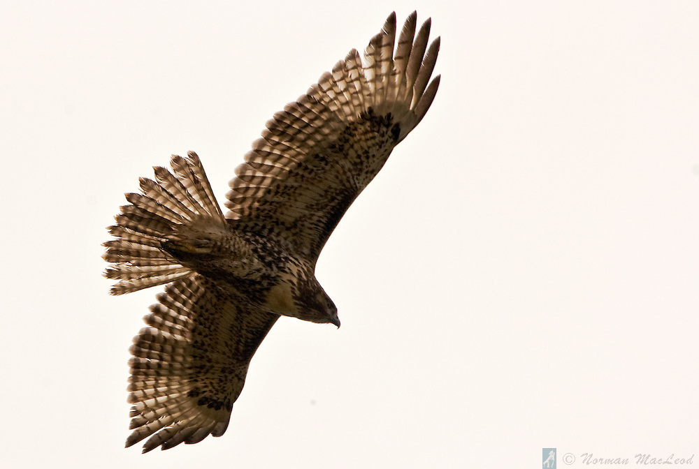 On a morning when clouds were all around, this Cooper's hawk soared above the Olympic National Park on Washington's Olympic Peninsula