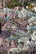 dogwood, magnolia trees, in Eden Park,Cincinnati,Ohio