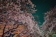 Cherry blossoms illuminated at night in Ueno Park, Tokyo, Japan.