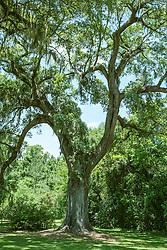 Beautiful Oak Tree in Charleston, South Carolina
