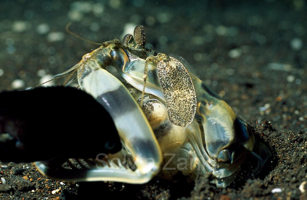 Bei Ergreifen des Fisches mit seinen dornenbewerten Fangbeinen schnellt der Fangschreckenkrebs ( Lysiosquillina maculata) ein Stück aus seiner Höhle hervor. Der Fangschlag dieser Krebse gehört zu den schnellsten Bewegungen im Tierreich.   Mantis Shrimp (Lysiosquillina maculata)