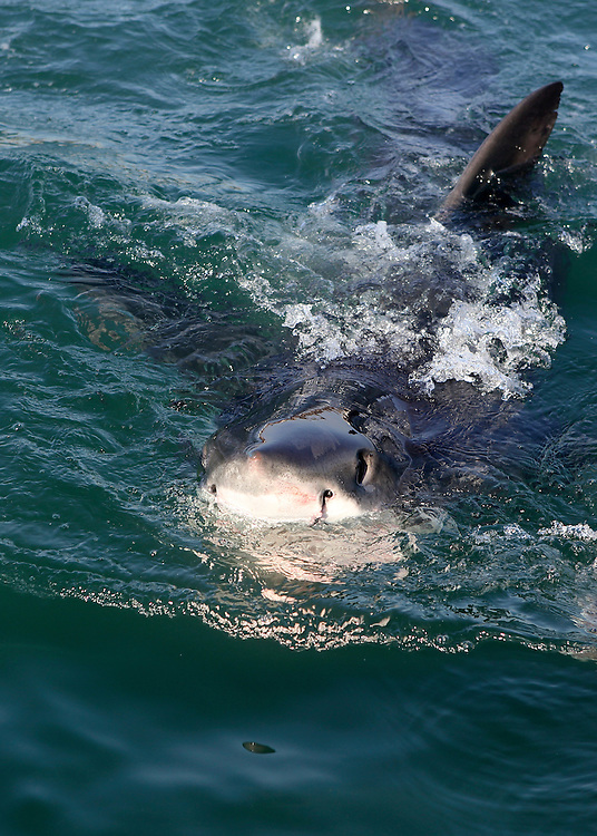 Great white shark spy-hopping at Mossel Bay, South Africa