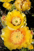 Prickly Pear, Blanco County