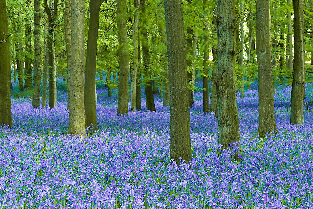 Bluebells growing in Ashridge forest
