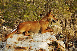 Honey, an Australian Dingo (Canis lupus dingo) on white rocks at Mt Hart Wilderness Lodge on the Gibb River Road. As the apex predator, dingos play an important role in balancing the ecosystem and controlling feral cats.