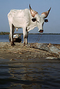Islands of Lake Chad: Kuri cattle (Bos taurus), a breed of cattle with bulbous horns found on Lake Chad.