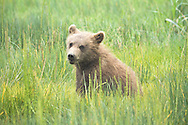 Grizzly Bear Cub Eating Grass in Meadow, Lake Clark National Park, Alaska
