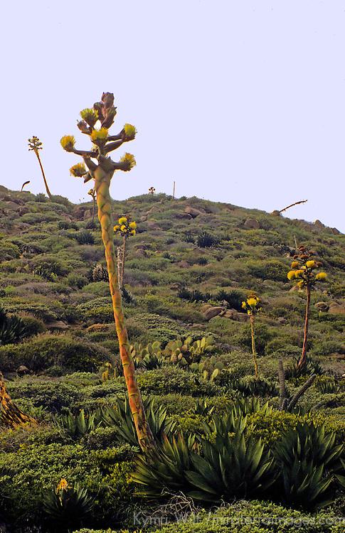 North America, Mexico, Baja California, Ensenada.  The Desert Agave plant growing along the slopes of Baja California.