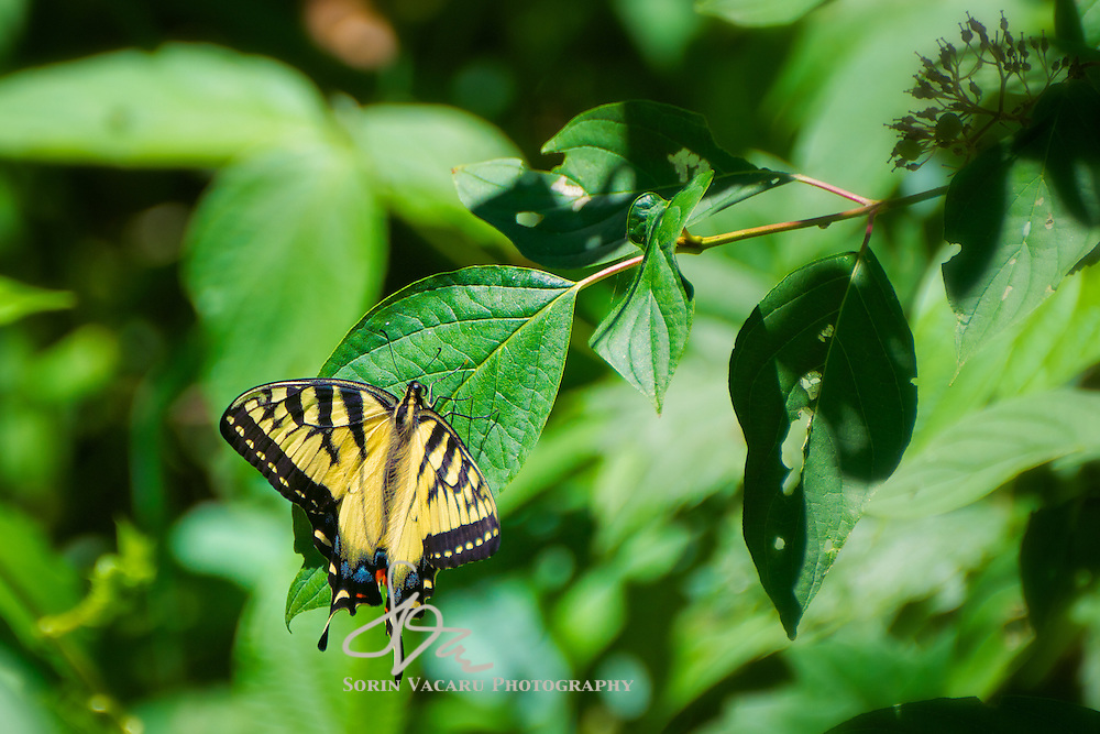 Swallowtail Butterfly in Minesing Wetlands Conservation Area
