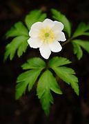 Wood Anemone, Anemone nemorosa, Miller's dale, April