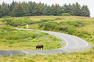 Bison (Bison bison) walking on road at Pasagshak on Kodiak Island in Southwestern Alaska. Summer. Afternoon.