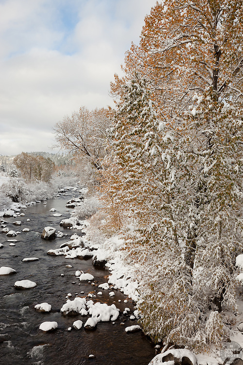 """""""Snowy Truckee River in Autumn 1"""" - Photograph of snow covered cottonwood trees along the Truckee River in Downtown Truckee."""