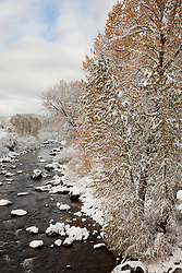"""Snowy Truckee River in Autumn 1"" - Photograph of snow covered cottonwood trees along the Truckee River in Downtown Truckee."