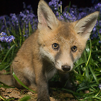 Fox cub, Oxfordshire.