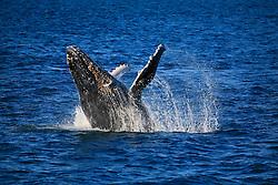 A whale breaches off Barred Creek in Western Australia's Kimberley region.