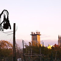 Sunflower stalks and wire fence of a community garden with the Washington Cathedral in the background.