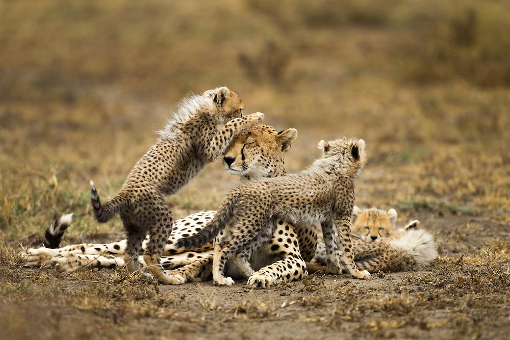 Tanzania, Ngorongoro Conservation Area, Ndutu Plains, Cheetah Cubs (Acinonyx jubatas) playing with mother while resting on savanna