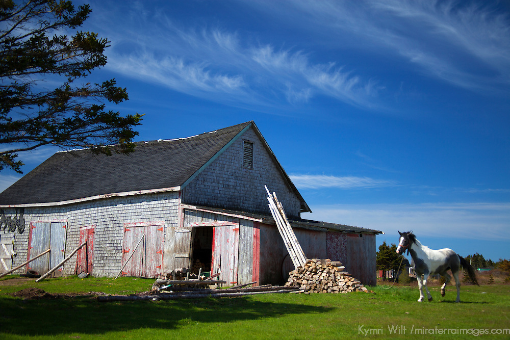 Canada, Nova Scotia, Guysborough County. Weathered barn and horse and of Nova Scotia.