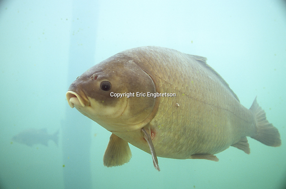 Bigmouth Buffalo<br />