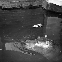 Gilbert the Hippopotamus arrives at Dublin Zoo .28/03/1958<br />