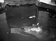 Gilbert the Hippopotamus arrives at Dublin Zoo .28/03/1958<br /> <br /> Irish  historic of Dublin Zoo, in Phoenix Park, Dublin, Ireland. <br /> Irish old photographs of Dublin Zoo, in Phoenix Park, Dublin, Ireland. <br /> Irish old photographs of Dublin Zoo, in Phoenix Park, Dublin, Ireland. <br /> Irish vintage pictures  of Dublin Zoo, in Phoenix Park, Dublin, Ireland. <br /> Irish vintage photos   of Dublin Zoo, in Phoenix Park, Dublin, Ireland. <br /> Irish historic photos  of Dublin Zoo, in Phoenix Park, Dublin, Ireland. <br /> Irish historic photos  of Dublin Zoo, in Phoenix Park, Dublin, Ireland. <br /> Irish history photos of Dublin Zoo, in Phoenix Park, Dublin, Ireland. <br /> Irish famous photos  of Dublin Zoo, in Phoenix Park, Dublin, Ireland. <br /> Irish historic pictures of Dublin Zoo, in Phoenix Park, Dublin, Ireland. <br /> Irish historic images of Dublin Zoo, in Phoenix Park, Dublin, Ireland. <br /> Irish pictures of Fashions shot at Dublin Zoo, in Phoenix Park, Dublin, Ireland. <br /> Irish history of Fashions shot at Dublin Zoo, in Phoenix Park, Dublin, Ireland. <br /> Irish history pictures of Dublin Zoo, in Phoenix Park, Dublin, Ireland. <br /> Irish photo history  of Dublin Zoo, in Phoenix Park, Dublin, Ireland. <br /> Irish history photo  of Dublin Zoo, in Phoenix Park, Dublin, Ireland. <br /> Irish historic photographs of Dublin Zoo, in Phoenix Park, Dublin, Ireland. <br /> Irish famous photographers Dublin Zoo, in Phoenix Park, Dublin, Ireland. <br /> Irish historical pictures of Dublin Zoo, in Phoenix Park, Dublin, Ireland. <br /> Irish historic photo of Dublin Zoo, in Phoenix Park, Dublin, Ireland.