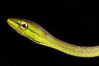 Cope's Vine snake, Oxybelis brevirostris, in the Choco Department of Colombia