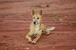 Honey, a pure-bred young dingo at Mt Hart.