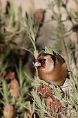 Goldfinch Pictures - Photos