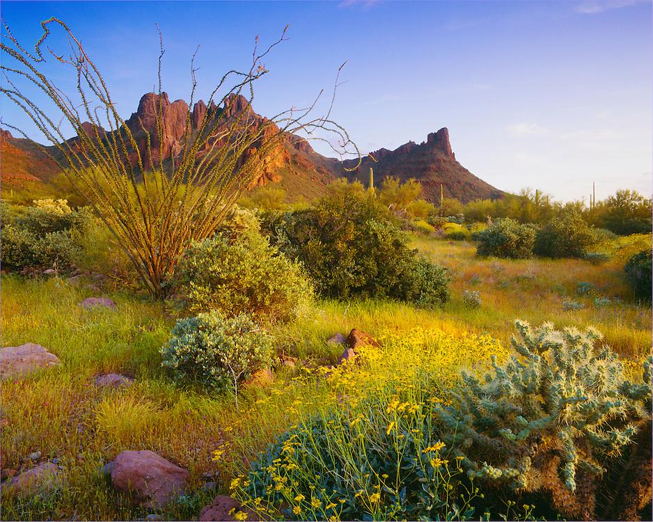 0112-1088 ~ Copyright:  George H. H. Huey ~ Grass Canyon with brittlebush [Encelia farinosa], buckhorn cholla [Opuntia acanthocarpa],  and ocotillo [Fouquieria splendens].  Organ Pipe Cactus National Monument, Arizona.