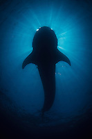 A whale shark (Rhincodon typus) blocks out the sun at a feeding aggregation off of Isla Mujeres, Mexico