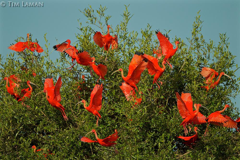 A flock of Scarlet Ibises (Eudocimus ruber) leaving in a mangrove tree at the Orinoco River Delta, Venezuela.