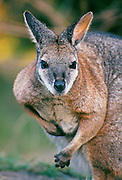 Tamma Wallaby (Macropus eugenii); Warrawong Sanctuary, South Australia..