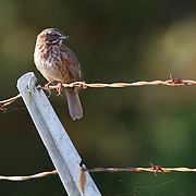 A song sparrow (Melospiza melodia) rests on a barbed-wire fence that borders the Edmonds Marsh in Edmonds, Washington. Song sparrows are commonly found in open bushy areas along the edges of water.