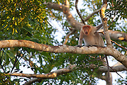 Screaming Proboscis Monkey (Nasalis larvatus) by Kinabatangan River, Sabah