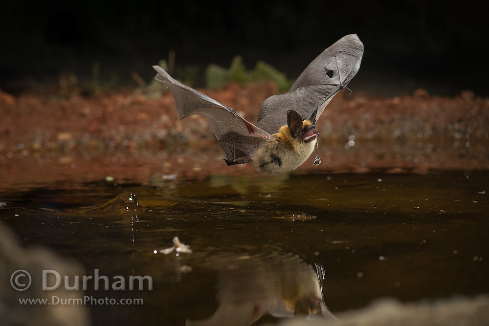 A thirsty western long-eared bat (Myotis evotis) comes to drink at a watering hole in the high desert of Oregon. Note the mild injury/tear in the wing.