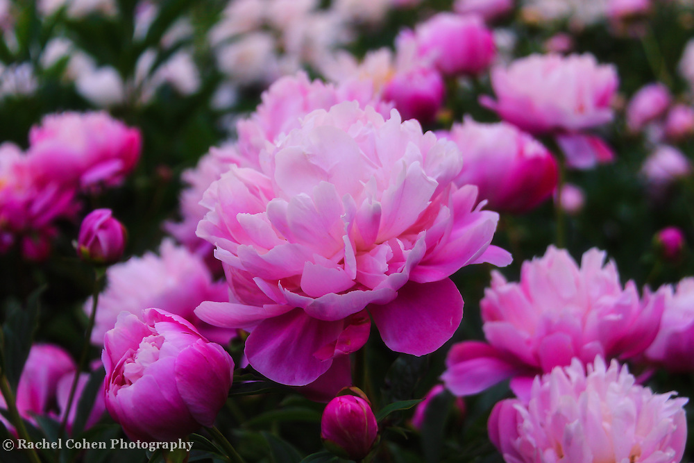 &quot;Peony Garden&quot;<br />