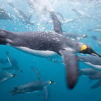 Antarctica, South Georgia Island (UK), Underwater view of King Penguins (Aptenodytes patagonicus) swimming in Right Whale Bay