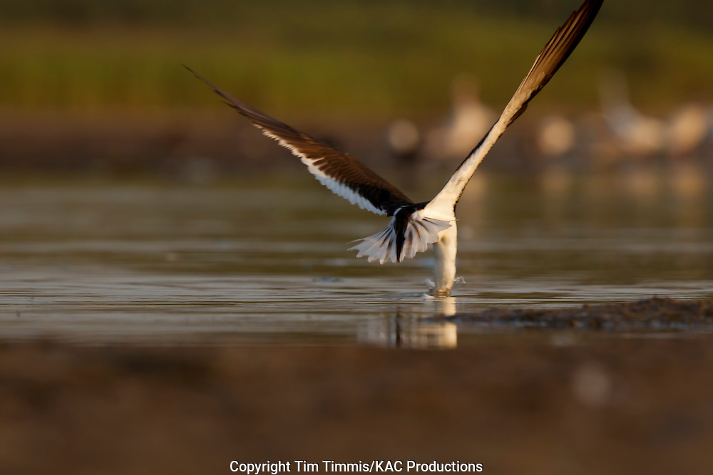 Black Skimmer, Rynchops niger, Bryan Beach, Texas gulf coast, skimming, going away with head in water, spread tail feathers