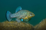 Comanche Springs Pupfish (displaying male)<br /> <br /> Isaac Szabo/Engbretson Underwater Photography