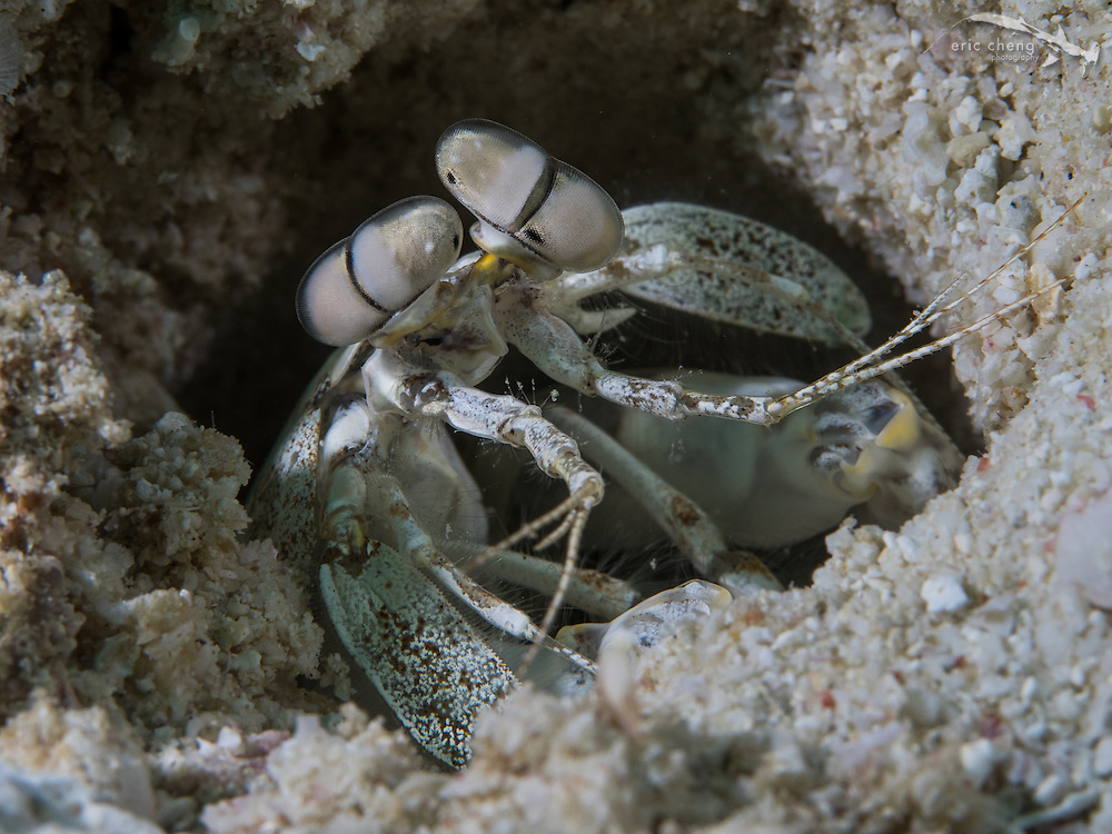 A tiger mantis shrimp (Lysiosquilla maculata) in its burrow in the sand.  Wainilu, Rinca, Komodo National Park, Indonesia.