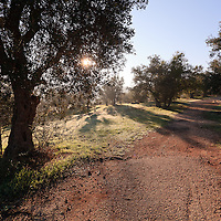 A footpath through a scenic grove of olive trees in the Valley of the Cross in Jerusalem. WATERMARKS WILL NOT APPEAR ON PRINTS OR LICENSED IMAGES.