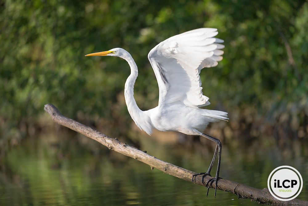 Great egret on the Anacostia River.