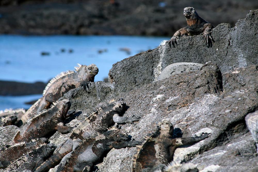 South America, Ecuador, Galapagos Islands, Santiago Island, James Island, Port Egas. A group of Marine Iguanas bask on the rocks.